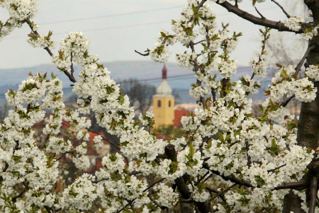 Цветущие фруктовые сады в Чехии (7 фото)