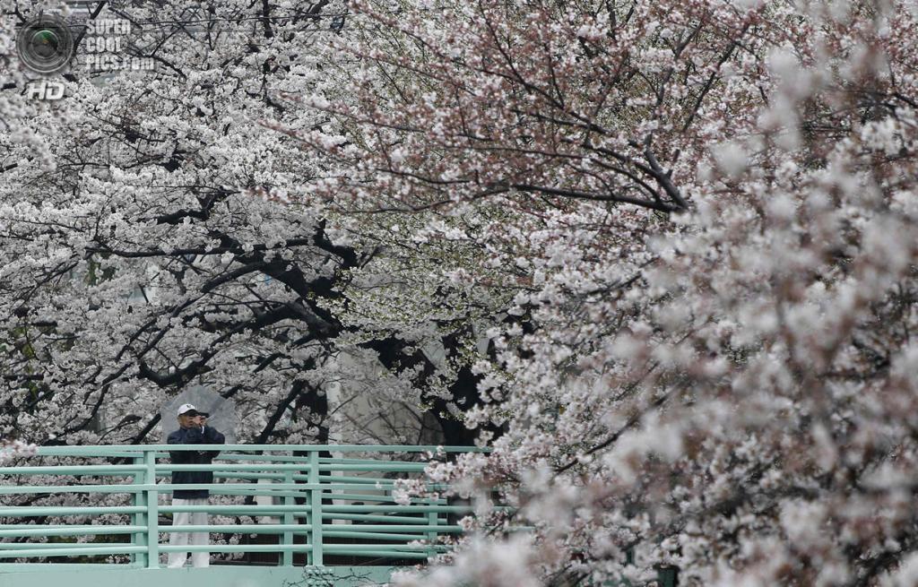 Япония. Токио. 30 марта. Цветение сакуры. (REUTERS/Yuya Shino)