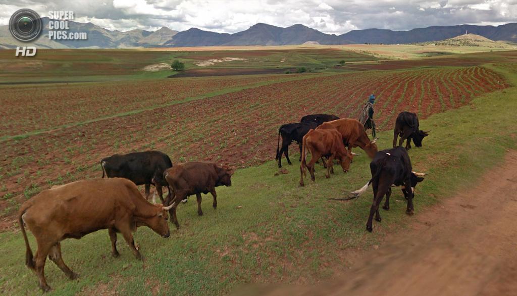 Лесото. Матела, Масеру. Пастух ведёт крупный рогатый скот с пастбища домой. (Google)