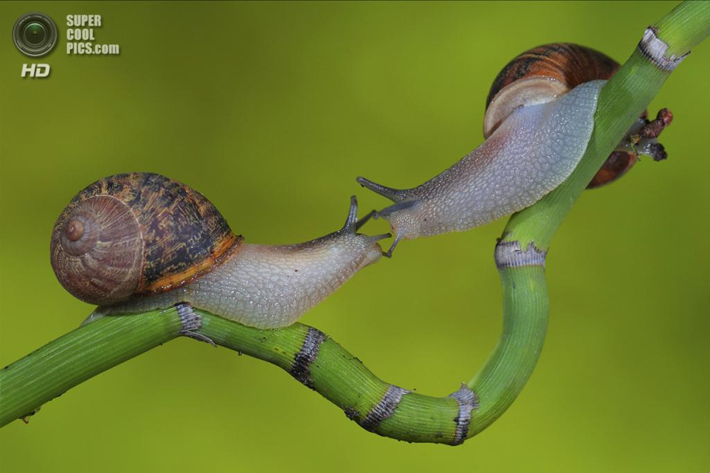 Две улитки в Аргентине. (Jose De Rocco/Smithsonian.com)
