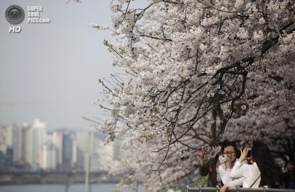 Южная Корея. Сеул. 2 апреля. Цветение сакуры. (REUTERS/Kim Hong-Ji)