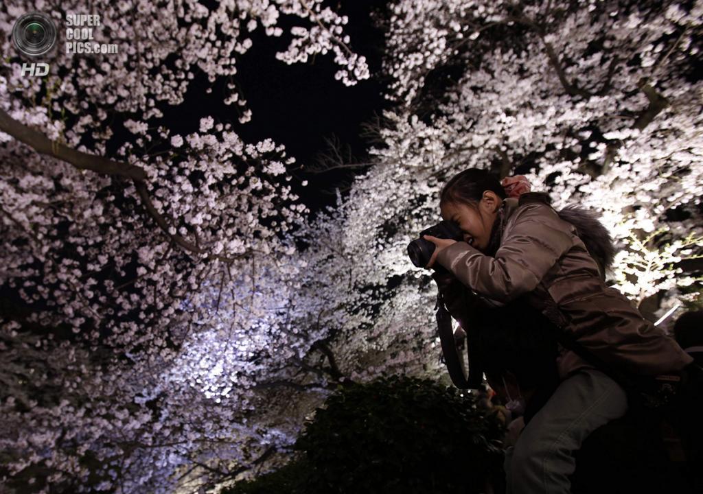 Япония. Токио. 1 апреля. Цветение сакуры. (REUTERS/Yuya Shino)