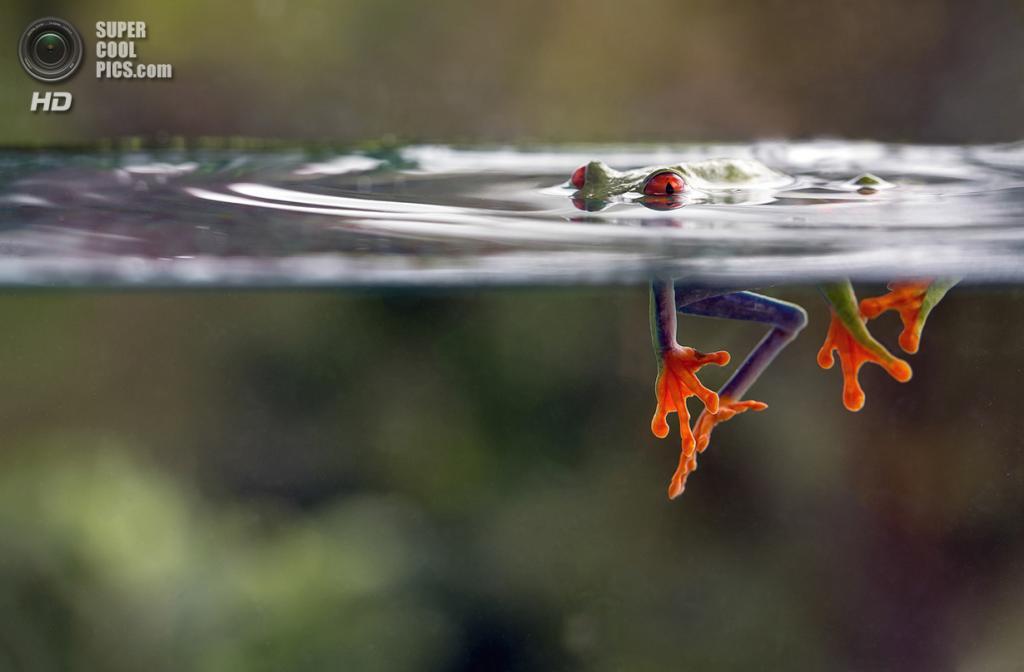 Красноглазая квакша в Коста-Рике. (Nicolas Reusens/Smithsonian.com)