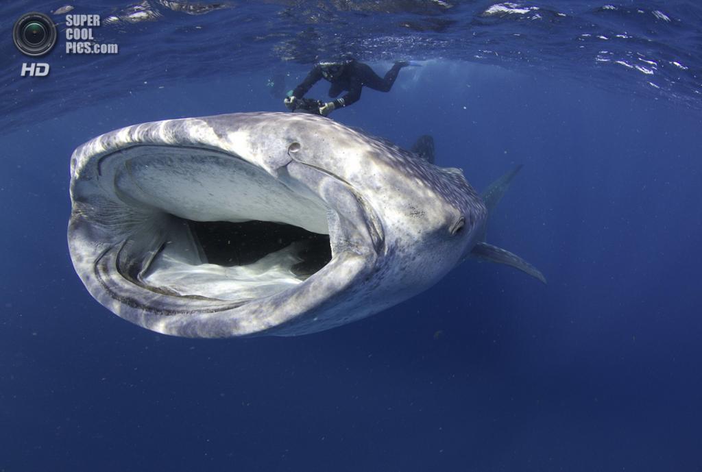 Категория: Sharks. 1 место. (Petteri Viljakainen/UnderwaterPhotography.com)