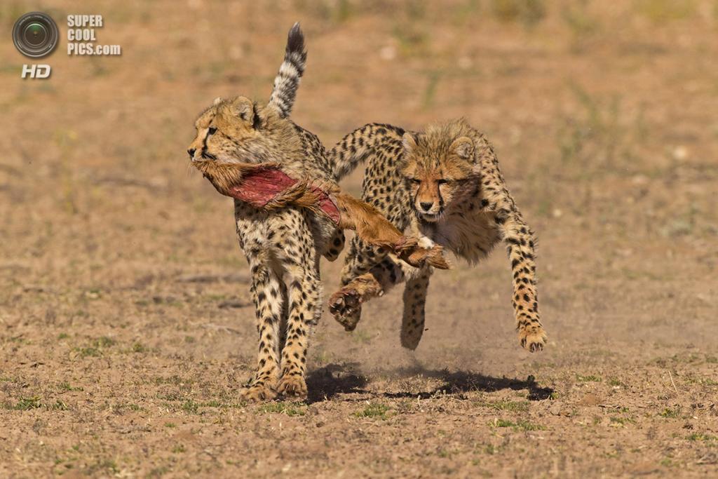 Детеныши гепарда забавляются с кожей спрингбока. (Seyms Brugger/Smithsonian.com)