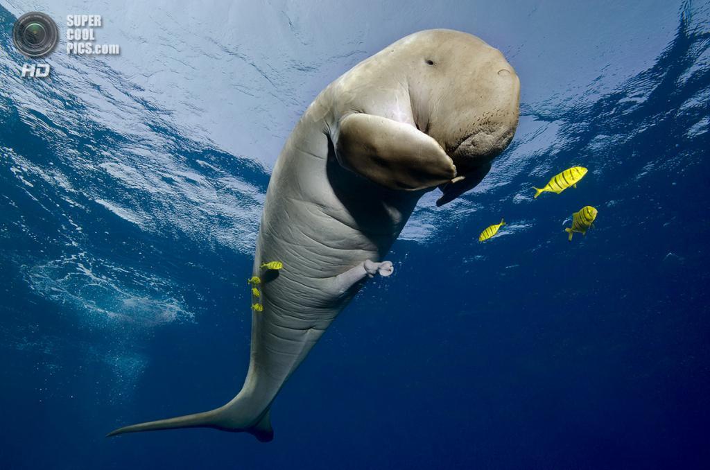 Категория: Wide-angle/Marine Life. 2 место. (Christian Schlamann/UnderwaterPhotography.com)