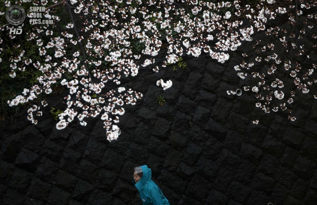 Япония. Токио. 30 марта. Цветение сакуры. (REUTERS/Issei Kato)