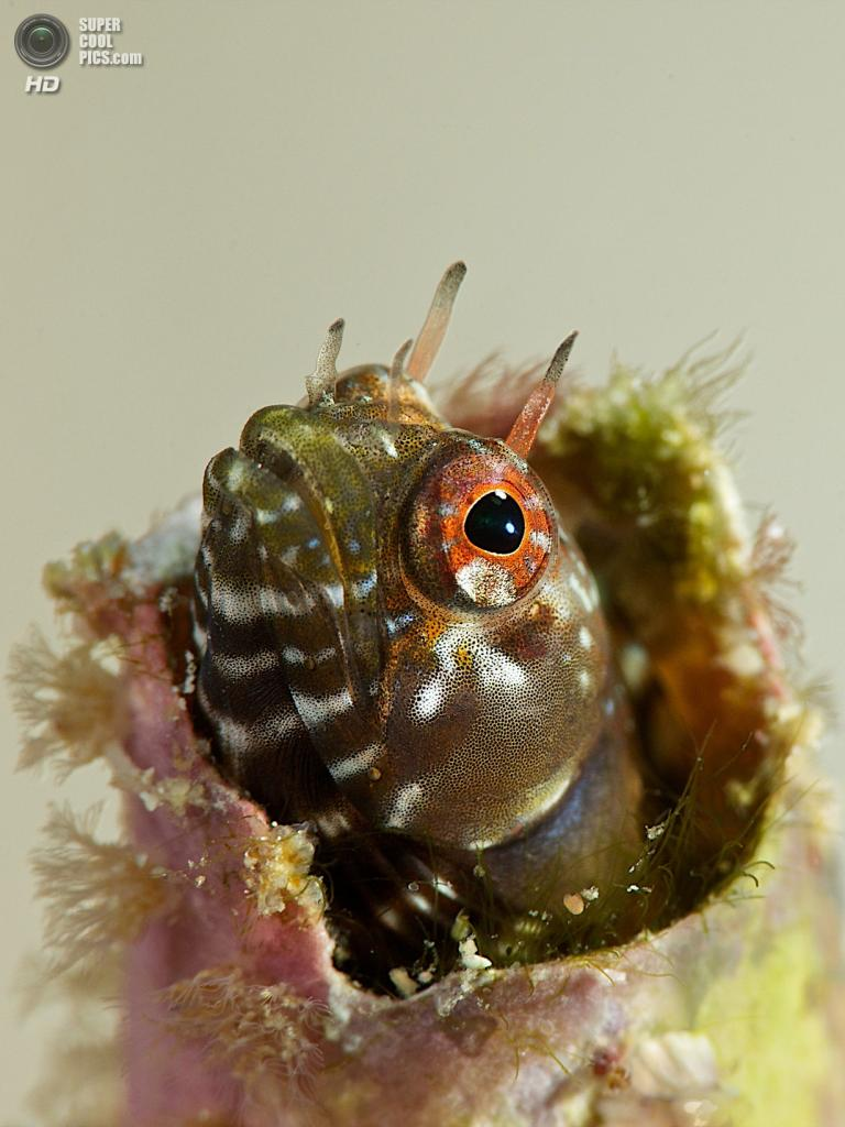 Категория: Macro/Not Swimming. 2 место. (Ellen Cuylaerts/UnderwaterPhotography.com)