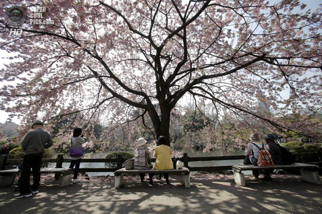 Япония. Токио. 25 марта. Цветение сакуры. (AP Photo/Shizuo Kambayashi)