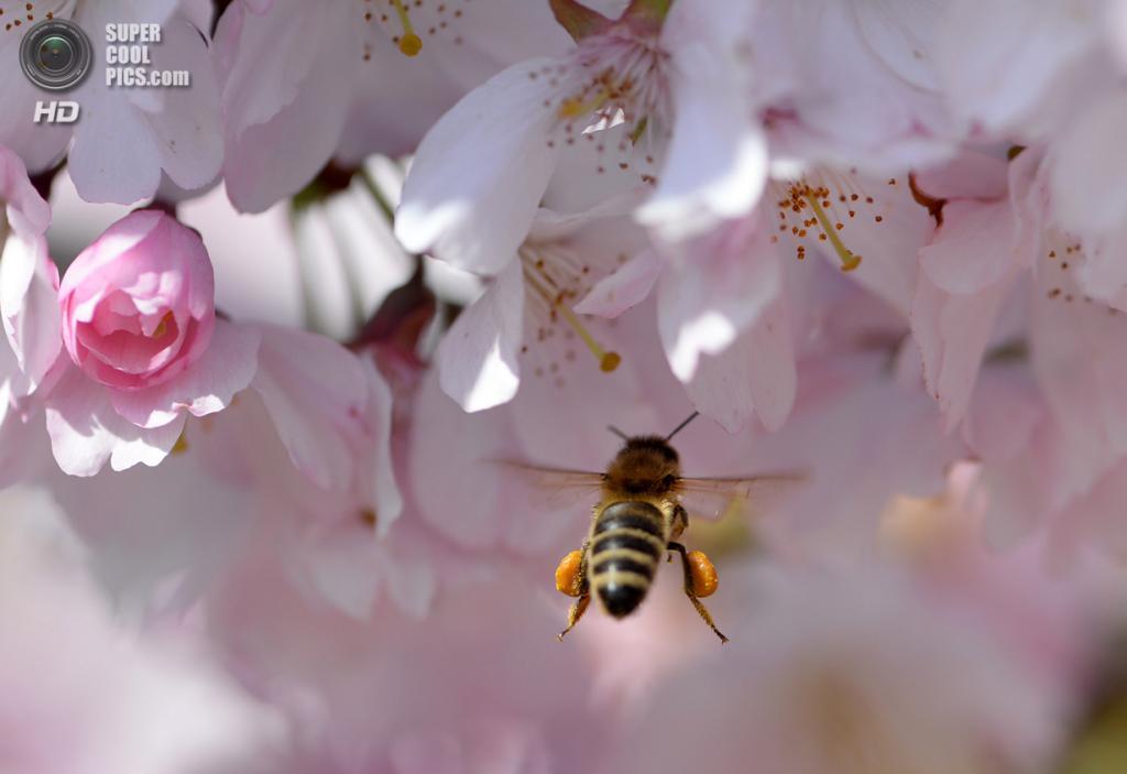 Германия. Потсдам, Бранденбург. 27 марта. Пчела собирает нектар с цветущей вишни. (AP Photo/dpa, Ralf Hirschberger)