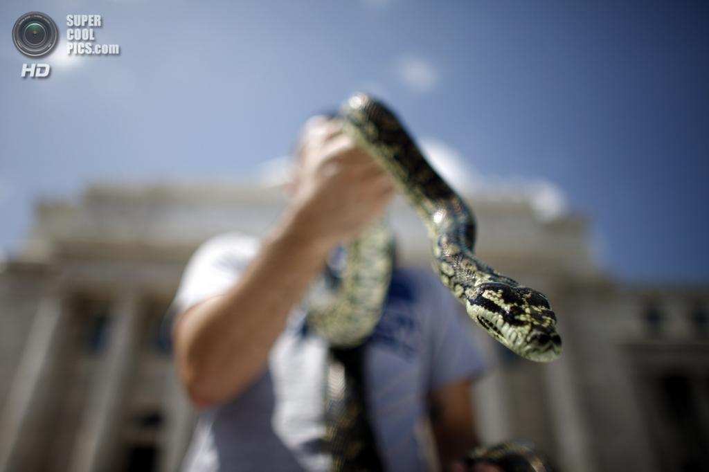 Пуэрто-Рико. Сан-Хуан. 21 мая. Рафаэль Лопес и его ковровый питон. (AP Photo/Ricardo Arduengo)