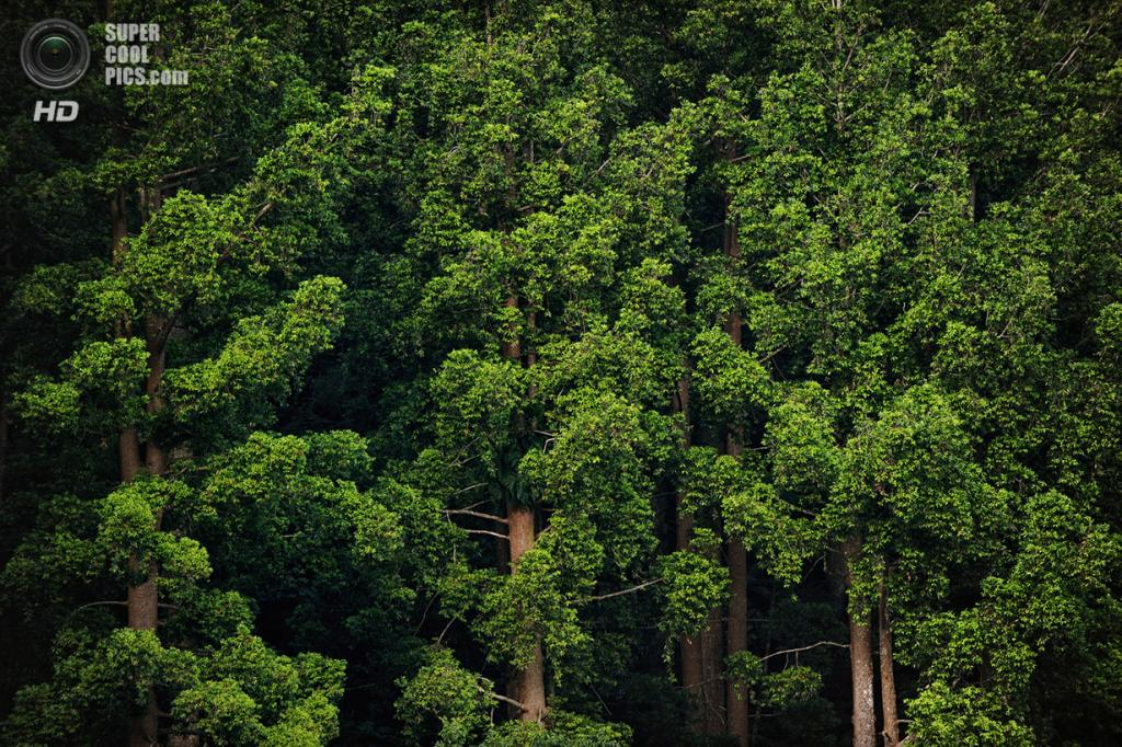 Заросли бальзамных деревьев высотой до 25 м на склонах вулкана Геде-Пангранго. Они являются домом для многих яванских обезьян. (Ricky Martin/CIFOR)