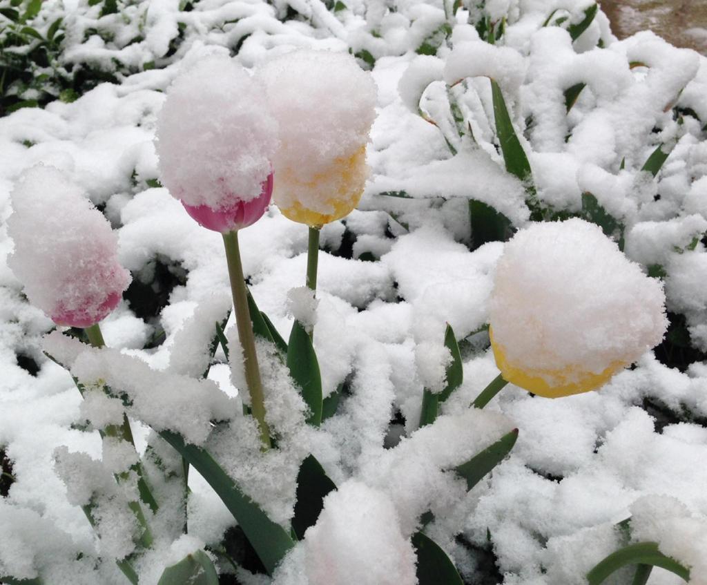 Майский снегопад в США (9 фото)