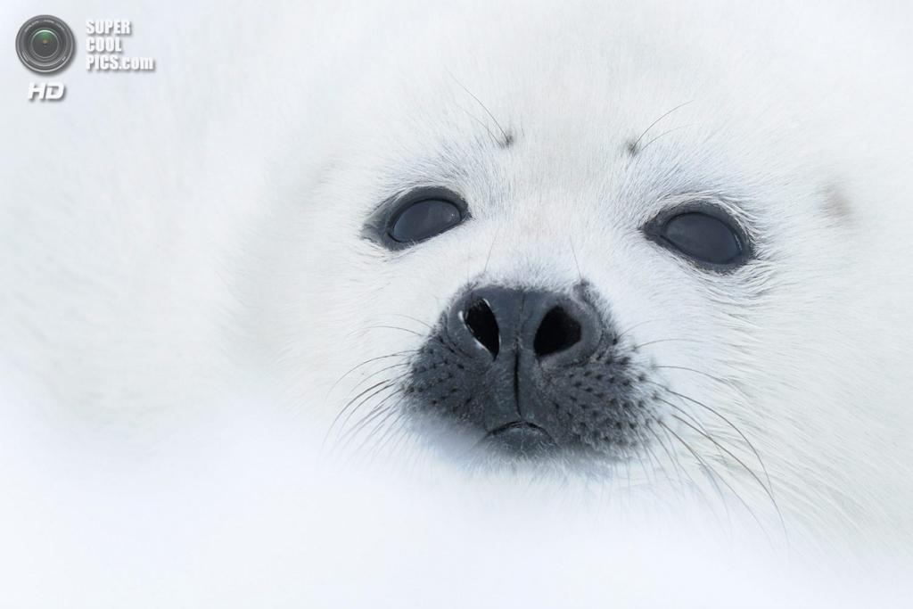 3 место в номинации «Млекопитающие». «Black on White». (Werner Bollmann)