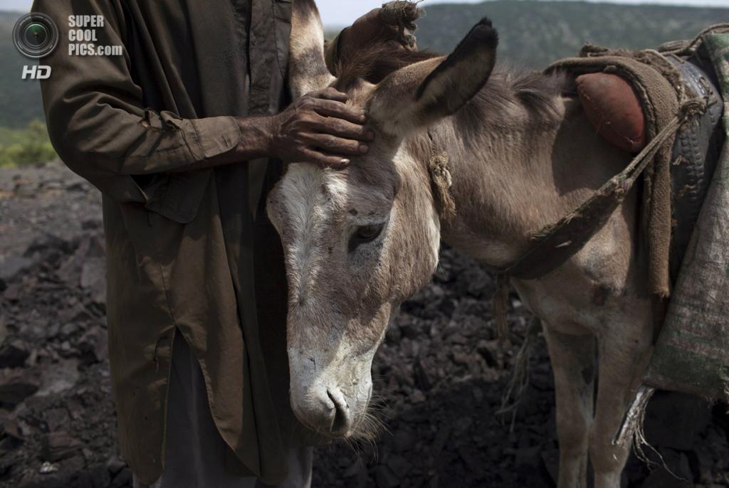 Пакистан. Чоа-Сайдан-Шах, Пенджаб. 5 мая. Шахтёр гладит своего четырёхлапого «коллегу». (REUTERS/Sara Farid)