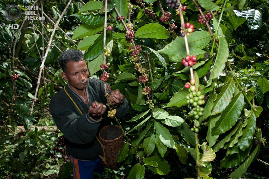Важным источником доходов для ваэребо является сбор кофе. Они садят кофейные деревья рядом с естественными лесами. (Aulia Erlangga/CIFOR)