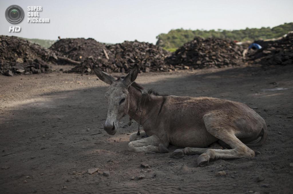 Пакистан. Чоа-Сайдан-Шах, Пенджаб. 5 мая. Шахтёрский осёл отдыхает после очередного похода на шахту. (REUTERS/Sara Farid)