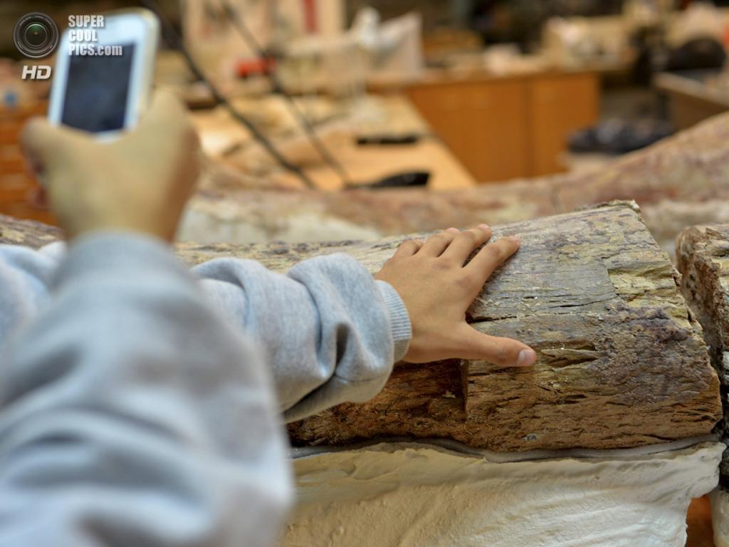 Аргентина. Трелев, Чубут. 18 мая. Недавно найденная окаменевшая бедренная кость динозавра на пресс-показе в Музее палеонтологии имени Эджидио Ферульо. (REUTERS/Maxi Jonas)