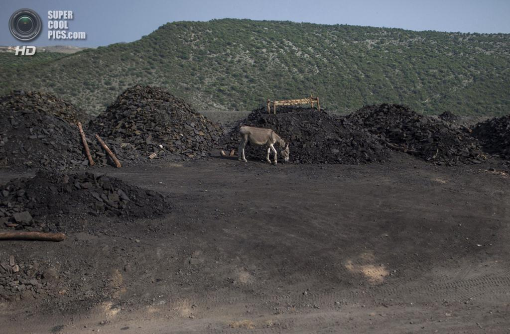 Пакистан. Чоа-Сайдан-Шах, Пенджаб. 5 мая. Шахтёрский осёл ищет себе место среди груды угля. (REUTERS/Sara Farid)