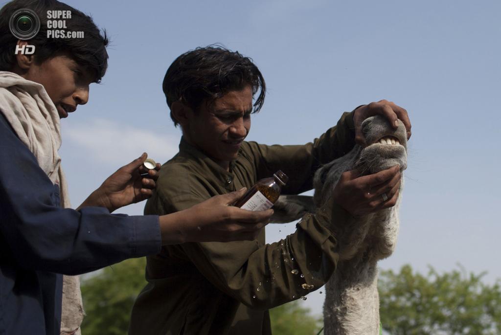 Пакистан. Чоа-Сайдан-Шах, Пенджаб. 5 мая. Сами и Билал лечат шахтёрского осла, страдающего от лихорадки. (REUTERS/Sara Farid)