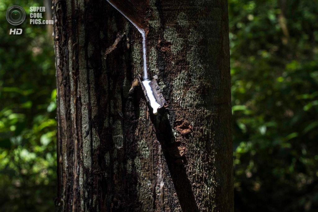 Латекс вытекает из гевеи бразильской, которую культивируют жители деревни Лубук-Берингин в провинции Джамби. (Tri Saputro/CIFOR)
