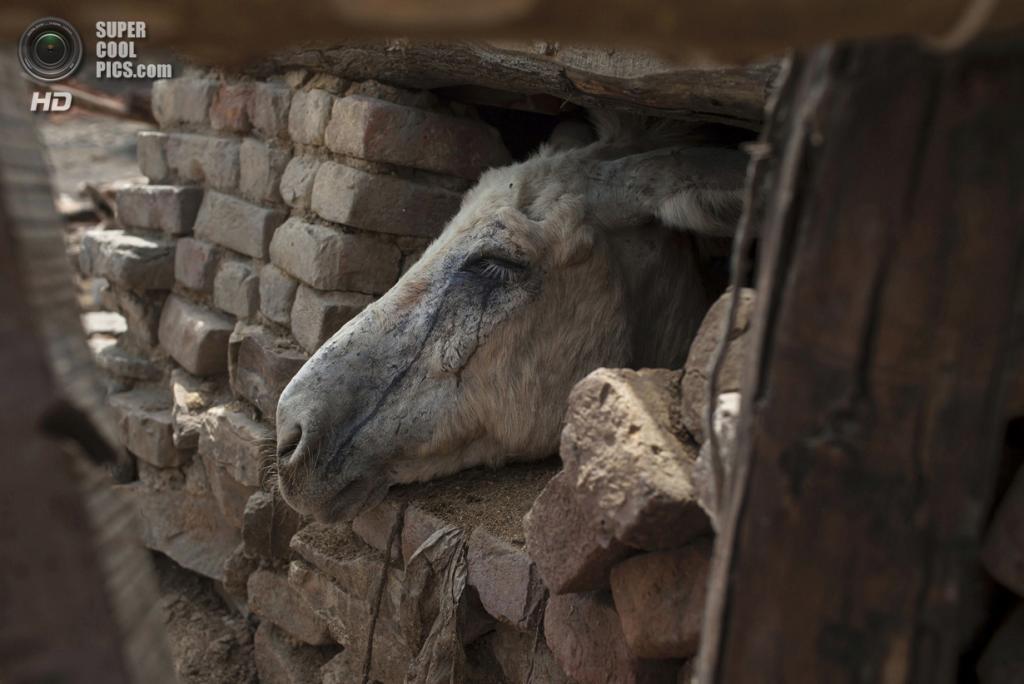 Пакистан. Чоа-Сайдан-Шах, Пенджаб. 5 мая. Слёзы угольной пыли текут по морде шахтёрского осла. (REUTERS/Sara Farid)