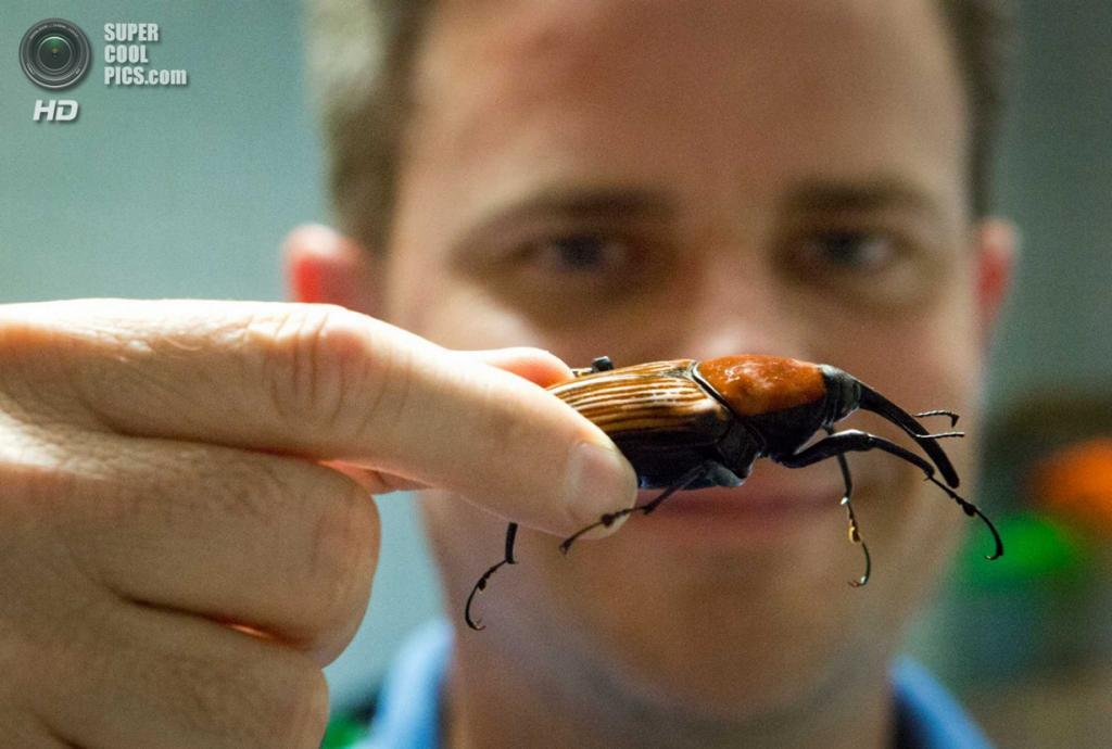 США. Хьюстон, Техас. 19 мая. Долгоносик Rhynchophorus ferrugineus. (Marie D. De Jesus/Houston Chronicle)