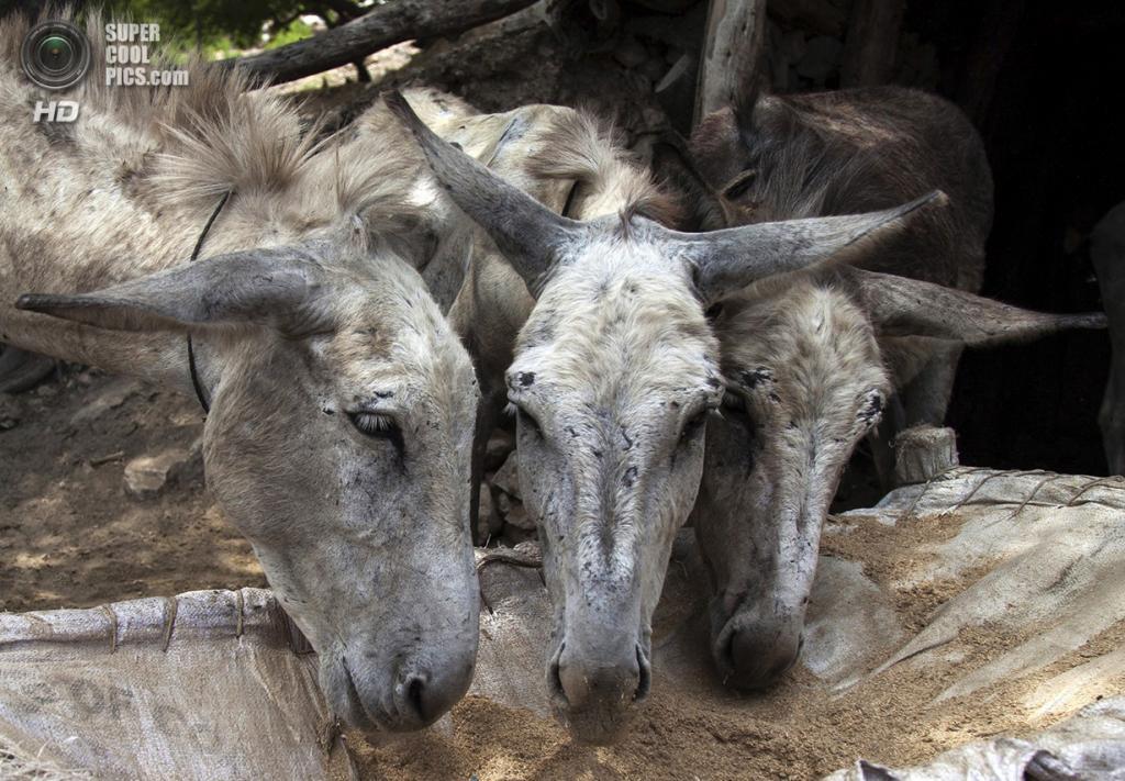 Пакистан. Чоа-Сайдан-Шах, Пенджаб. 5 мая. Шахтёрские ослы во время кормёжки. (REUTERS/Sara Farid)