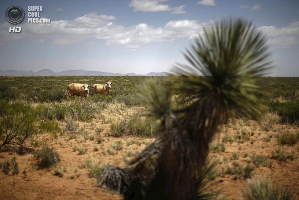 США. Трут-ор-Консекуэнсес, Нью-Мексико. 1 мая. Крупный рогатый скот, пасущийся по соседству. (REUTERS/Lucy Nicholson)