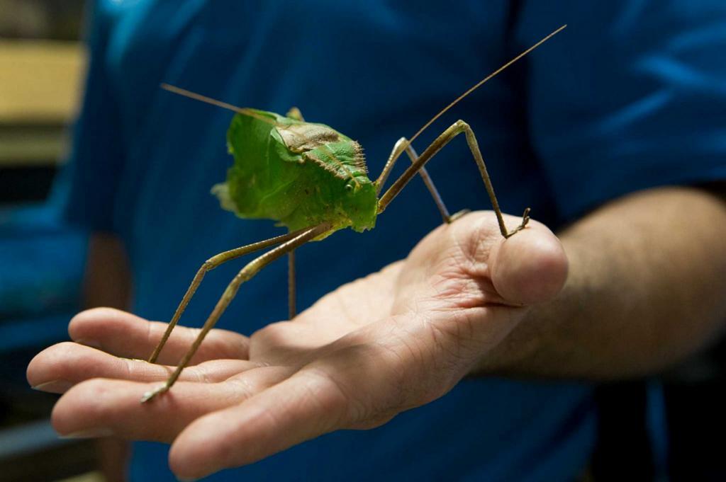 На прошлой неделе в Хьюстонском зоопарке открылся первый инсектарий (специальное помещение для содержания насекомых) с момента основания учреждения в 1922 году. Резидентами инсектария, названного The Bug House («Дом жуков»), стали самые большие и экзотические представители этого класса живых существ.