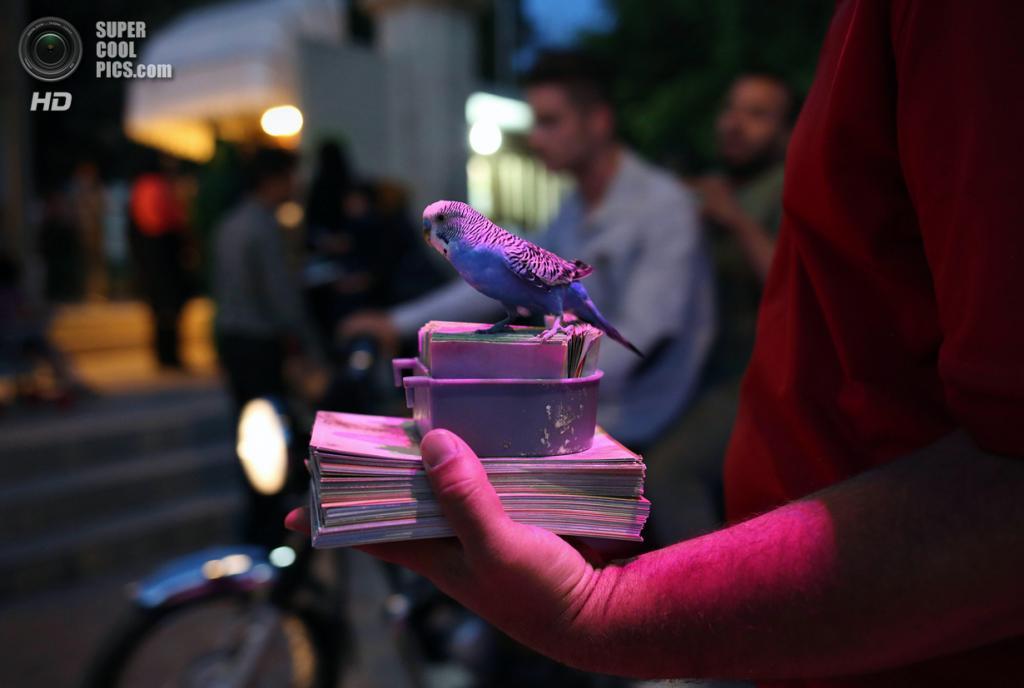 Иран. Шираз, Фарс. 29 мая. Мужчина с попугаем в ожидании клиентов у Мемориала Хафиза. Туристы платят за то, что попугай даёт им «совет», выбирая листик с поэзией знаменитого персидского поэта Хафиза из коробки. Стихотворение является своего рода указанием на будущее. (John Moore/Getty Images)