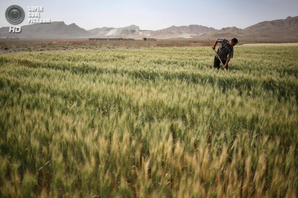 Иран. Мейме, Исфахан. 3 июня. Фермер Аббас Хамамян работает в поле. По его словам, он уже 15 лет владеет фермой площадью 4 га, и в этом году обильные дожди принесли ему самый лучший урожай за всё время. (John Moore/Getty Images)