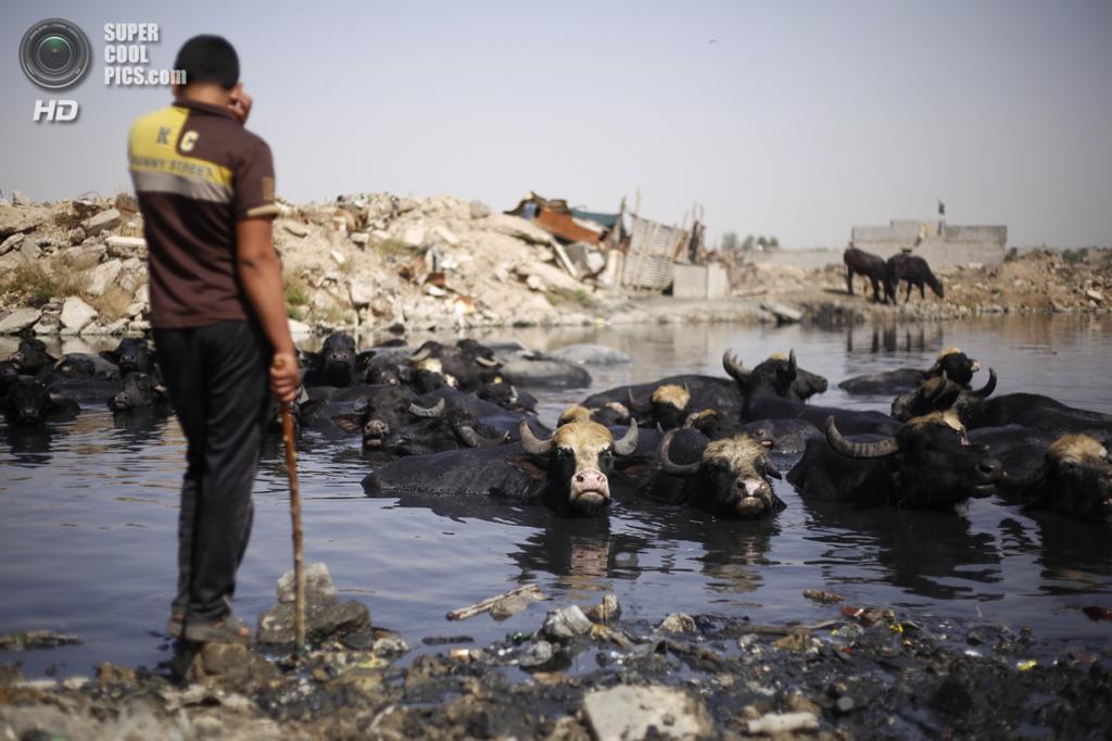 Ирак. Садр-Сити, Багдад. 3 мая. Шиитский пастух наблюдает, как его скот охлаждается в сточных водах во время жары. (REUTERS/Ahmed Jadallah)