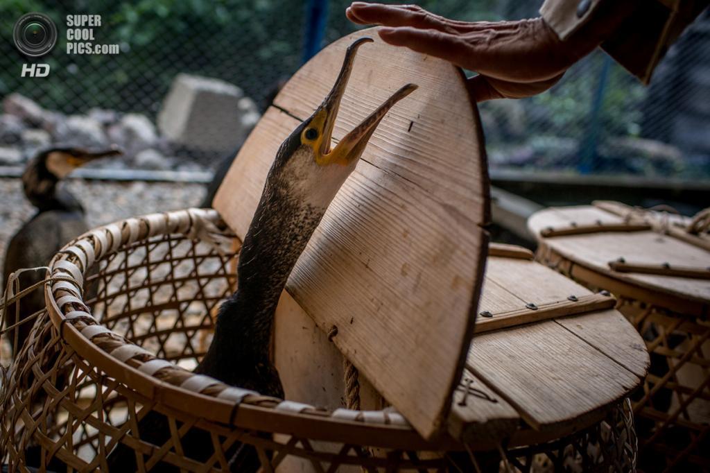 ловля рыбы бакланами в китае видео