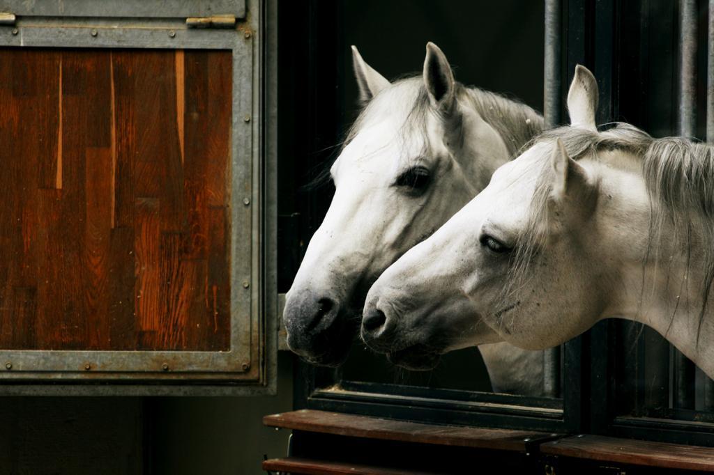 Липпицианская лошадь. (Emmanuele)