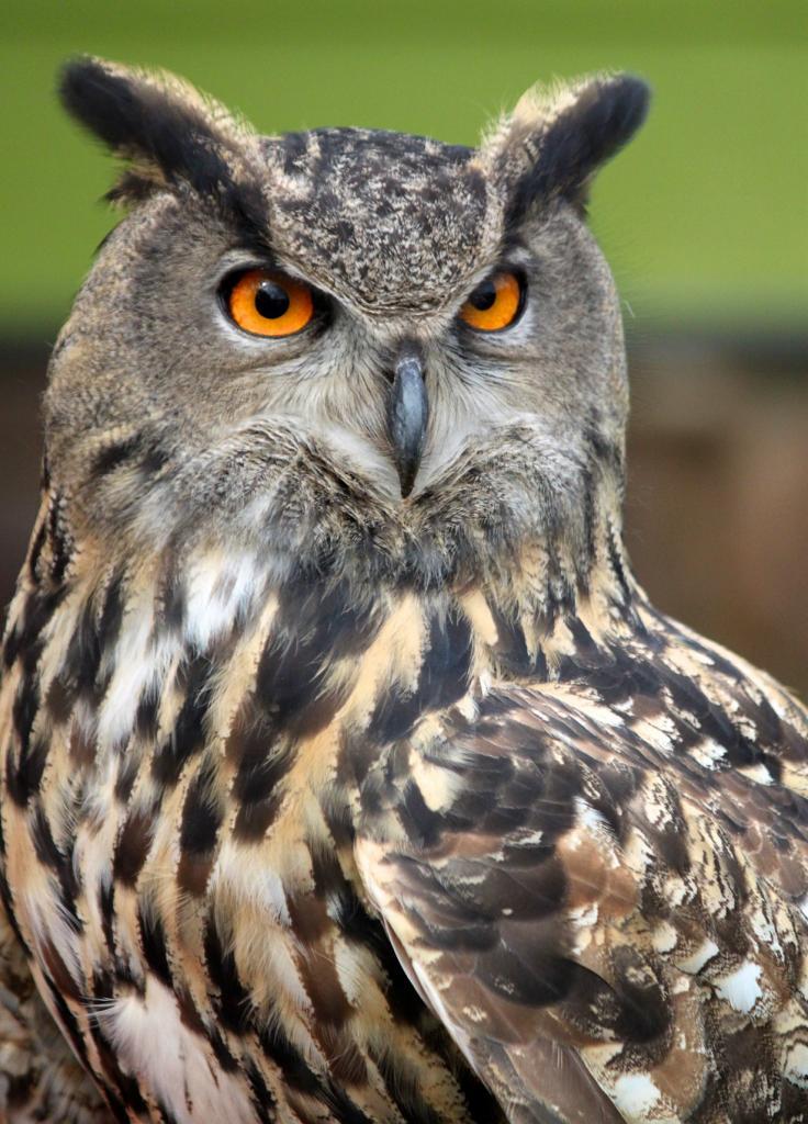 10 место. Филин  — ночной убийца. Питается птицами, мелкими млекопитающими, рыбой и беспозвоночными. Представители данного вида обитают на территории Северной Африки, Европы и Азии. (ewoerlen)
