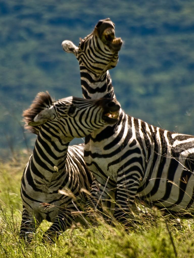 Бои животных. (William Warby)