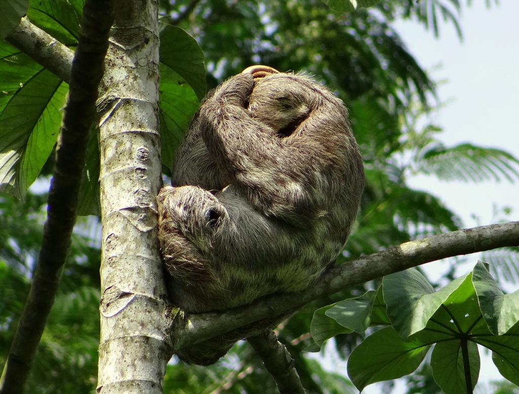 Ленивцы. (barloventomagico)