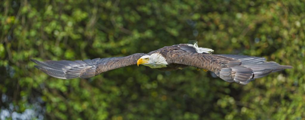 Белоголовый орлан. (Tambako The Jaguar)