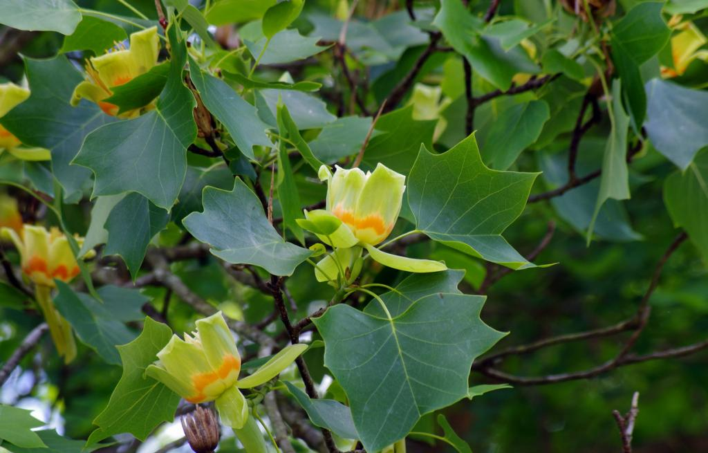 Тюльпанное дерево. (stevbach1)