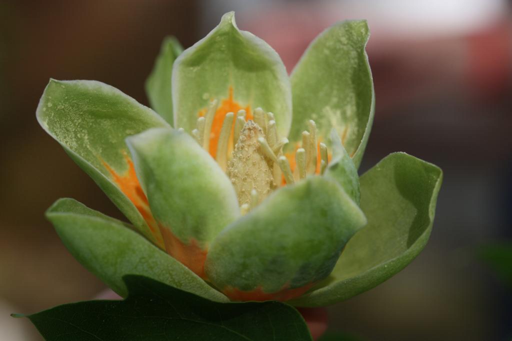 Тюльпанное дерево. (Phillip Merritt)