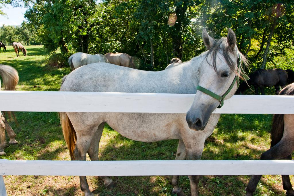 Липпицианская лошадь. (AudreyH)