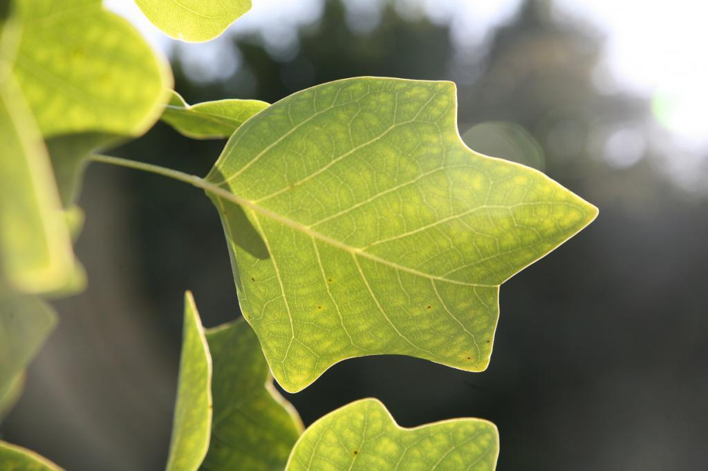 Тюльпанное дерево. (rethought)