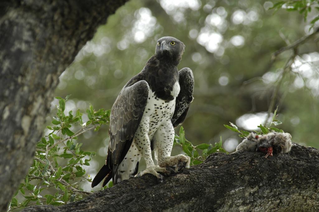 9 место. Боевой орёл. Питается мелкими и средними млекопитающими, включая собак. Представители данного вида обитают на территории Африки. (Pim Stouten)