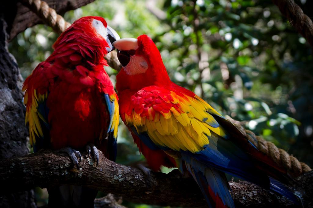 США. Флорида. «Королевство животных» Всемирного центра отдыха Уолта Диснея. Попугаи Ара. (Jeff Krause)
