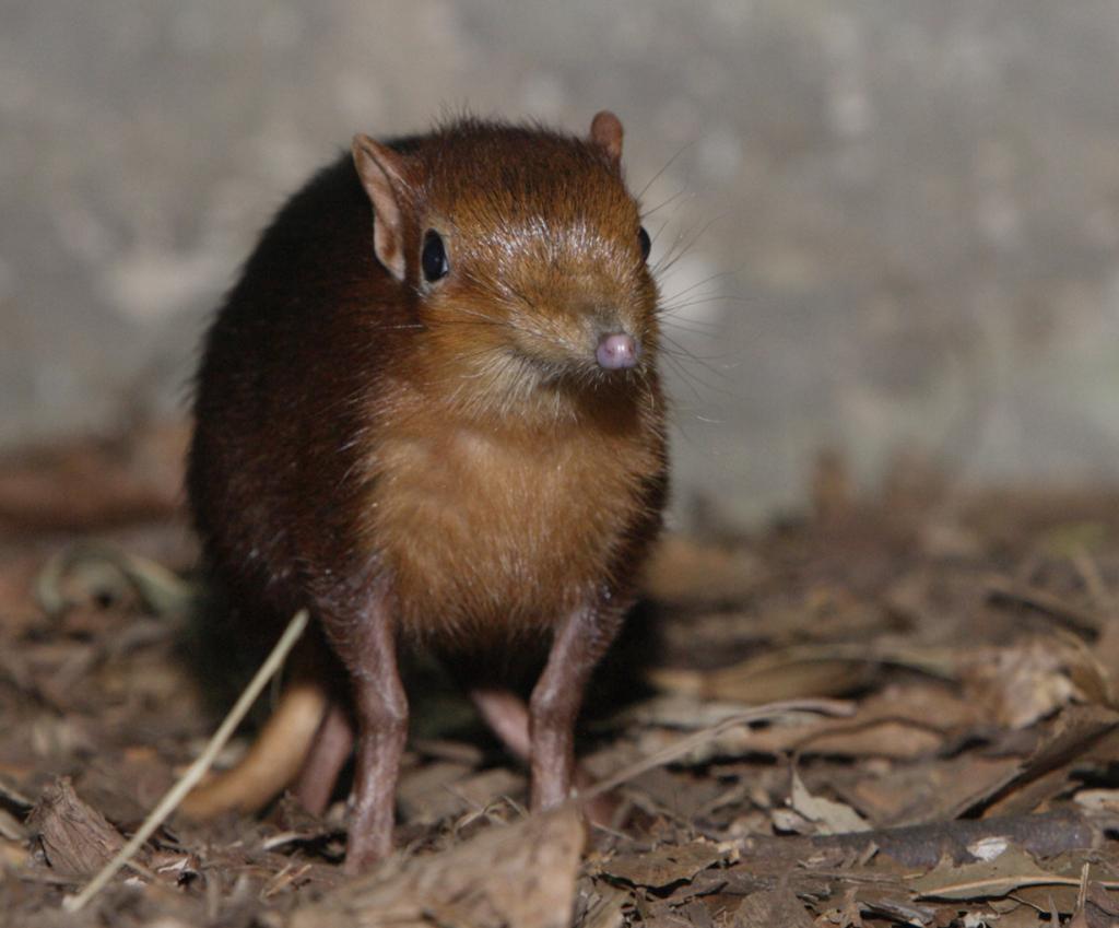 Хоботковая собачка Петерса. (Smithsonian's National Zoo)