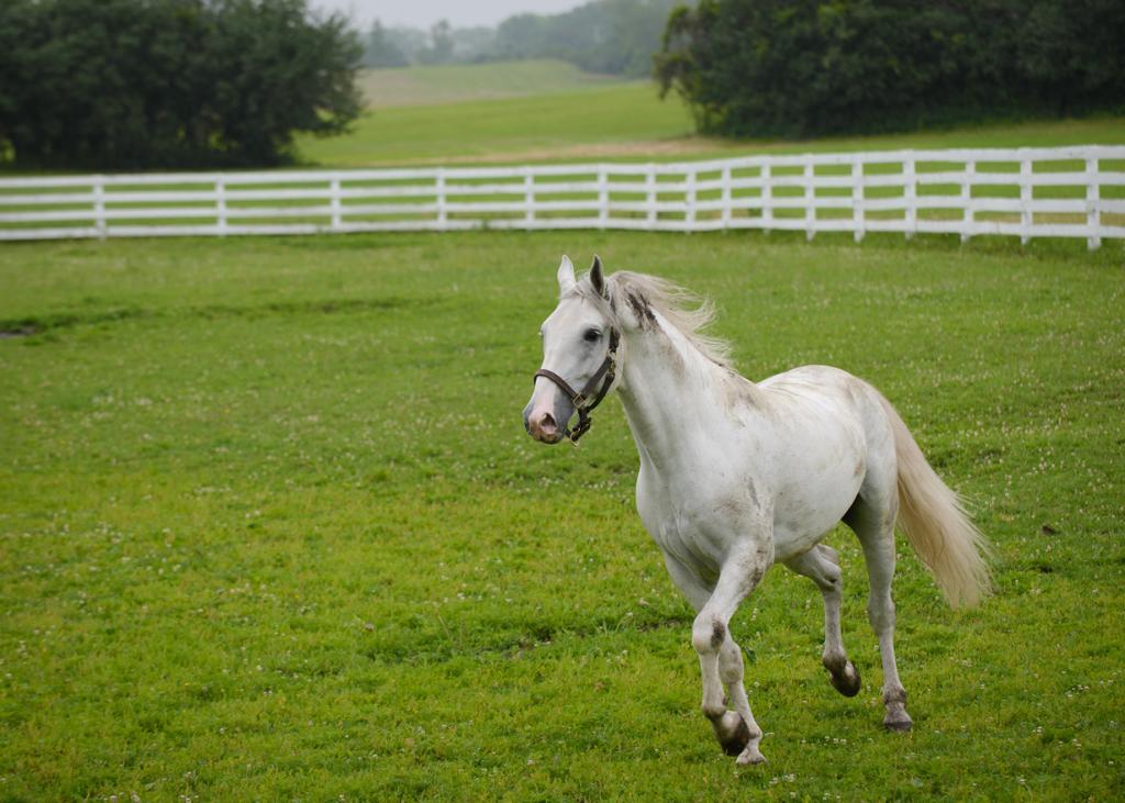 Липпицианская лошадь. Bob Haarmans)