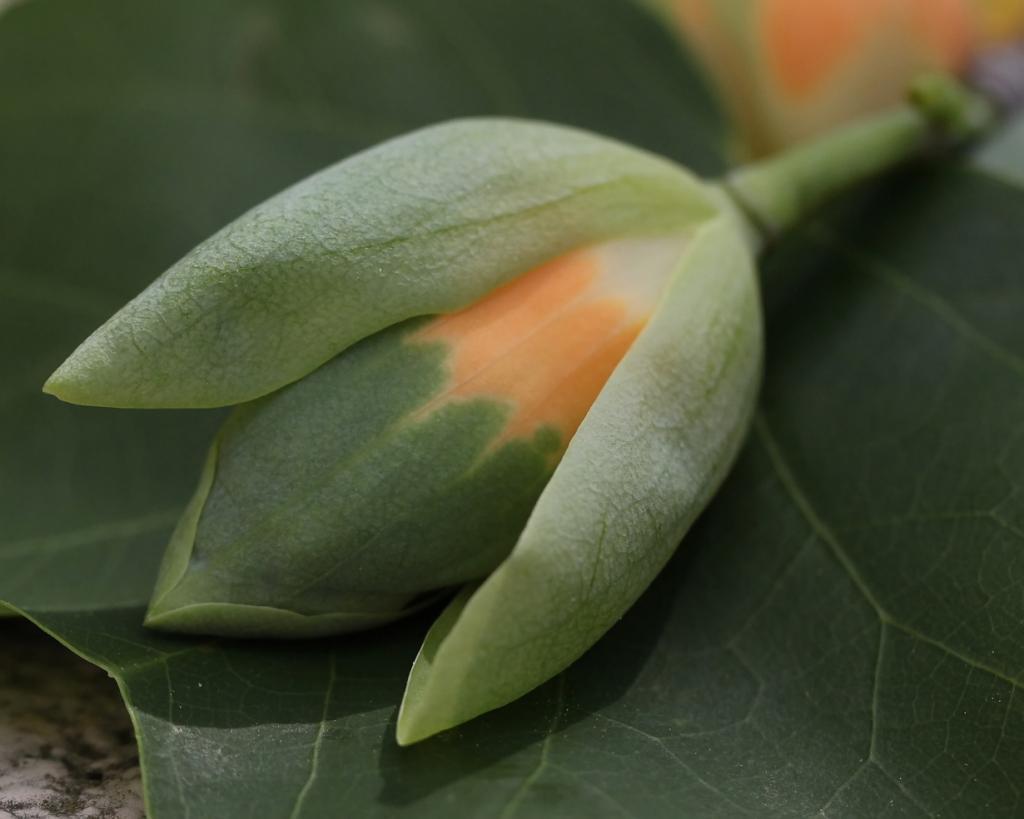 Тюльпанное дерево. (Vicki)