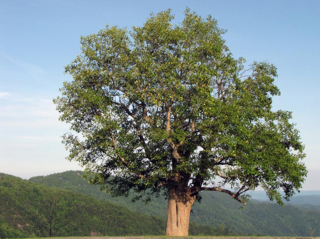 Тюльпанное дерево. (BlueRidgeKitties)
