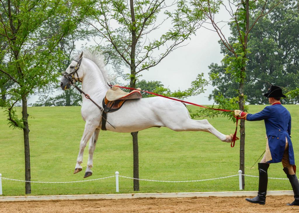 Липпицианская лошадь. (Bob Haarmans)